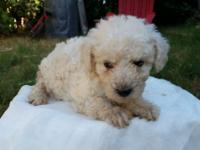 Marley is a handsome male maltipoo reaaly playfull and