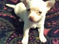 Drake is a fawn & & white Merle Chihuahua puppy with