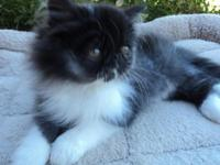 Handsome Black and White Smoke Persian, CFA registered