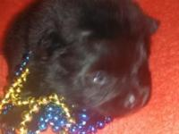 I have 1 black male Pomeranian puppy lookingvfor his