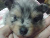 I have one blue merle male Pomeranian young puppy