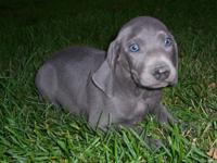 Two extremely good blue Weimaraner males. They are Reg.