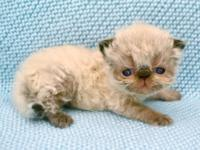 I have an extremely handsome seal point himalayan baby