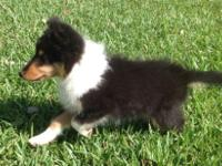 Skipper is a gorgeous male Sheltie puppy 9 weeks old.
