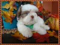 Handsome puppy male shih Tzu. He has rare white with