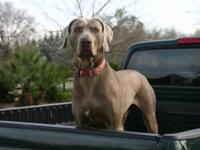 Large (not fat) Weimaraner 7 years, healthy good