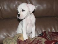 This adorable white male pedigreed boxer puppy will be
