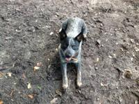Very handsome 8 month old intact male Blue Heeler, ok