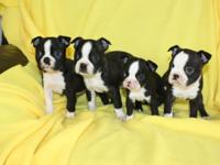 4 stunning Boston Terrier kids! Will be 8 weeks on