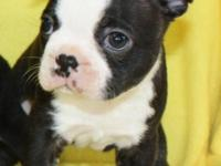 One beautiful Boston Terrier kid! Will be 8 weeks on