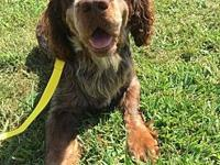 Hank's story Hank is a fantastic Springer Spanial, he