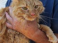 Hank's story Hank-Maine Coon Male, ~ 2-3 yr. (June