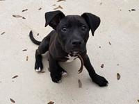 Hanna's story Hannah is a lovable 11 week old Lab /