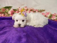 HANNA MALTESE FEMALE PUPPY AKC HANNA IS A BEAUTIFUL