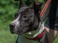 HANNAH is a 4-5yrs old, 65 lb  Pitbull terrier mix .