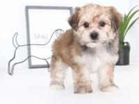 Hannah is an adorable Morkie puppy. She is so loving,
