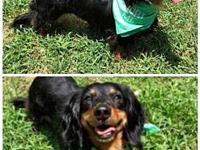 Hannah's story Hannah is a 3 yo long haired dachshund.