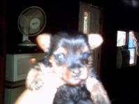 Hannah baby yorkie woman. Is 4 week old right now.