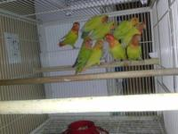 Pair of breeding Hans macaws, we no longer have the