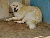 My story Hans - male great pyrenees - lacks