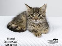 Hansel (Foster Care's story All cats in the adoption