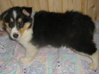 HANSOM male tri -colored male collie puppy.he is very