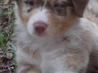 I have stunning Full- size Australian Shepherd young