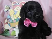 CKC registered Labradoodle puppies born February 22,