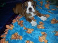 AKC ENGLISH BULLDOG PUPPIES FOR SALE. I HAVE ONLY 1