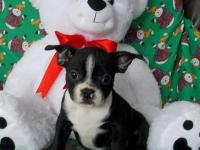 Adorable little Boston Terrier puppies are all set for