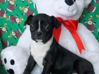 Adorable little Boston Terrier puppy is prepared for