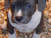 Ultimate Blue Nose Pitbull Puppy for sale at