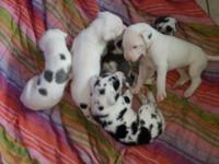 Attractive clutter of great dane puppies, a number of