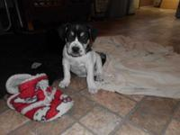 beautiful harlequin female is 8 weeks old. she will be
