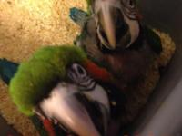 Beautiful baby macaws available for 1,350 each comes