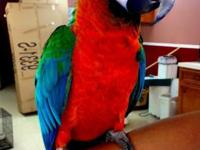 Amazing Harlequin macaw, very trained, very tame!!very