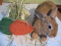 Harlequin - Medium - Adult - Male - Rabbit