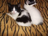 Beautiful rare black white spotted Harlequn Manx