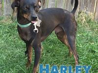 Harley's story Harley is a 3-4 year old male Miniature