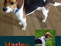 Harley's story Harley is a one year old Beagle who came