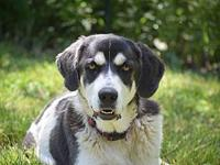 Harmony's story Harmony is a 1-2 year old, 67 lbs laid