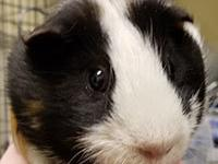 Harold is a 4 year old guinea pig and was saved from a