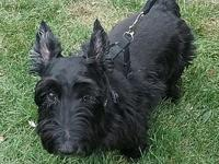 Harold's story Harold is a 10-year old Scottish Terrier