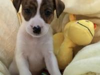 Harper is a female puppy, white with brindle markings,