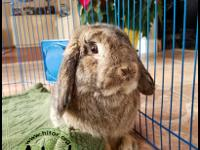 HARPER This one year old male lop is in need of lots of