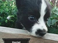 Harriet's story Harriet is an 8 week old Border Collie