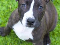 Harris is an 8-10 week old male brindle & white pit