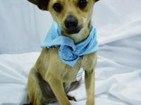 Harry is a playful chihuahua mix 9 month old male.  He