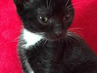 Harry is a stunning 10 week old tuxedo kitten. He is