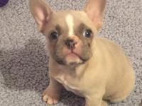 Harry,French Bulldog Puppy,Text me for more details at